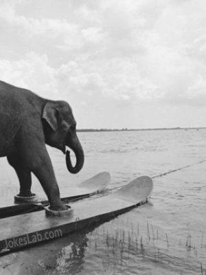 Funny elephant skiing