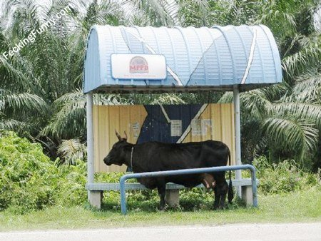 Bus stop for cow