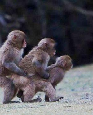 Funny gay monkeys