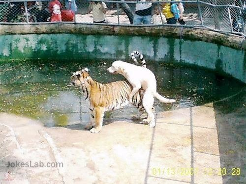 funny-horny-dog fucking a tiger