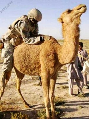Funny moment, US solider fucking a camel in Iraq