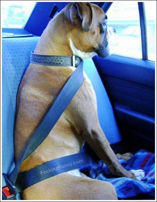 Seatbelt for dog