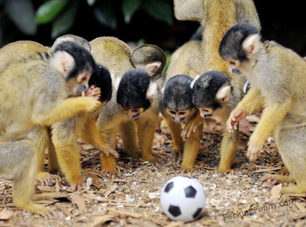 Monkey football fans