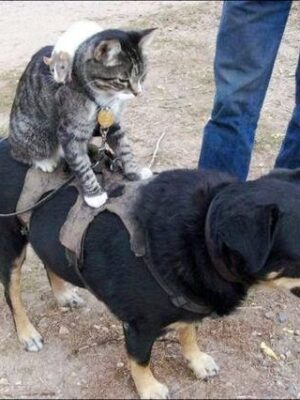 Funny cat riding a dog