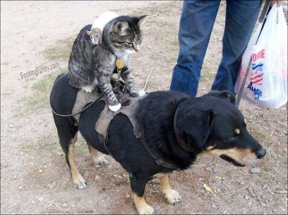 funny-cat-riding-dog