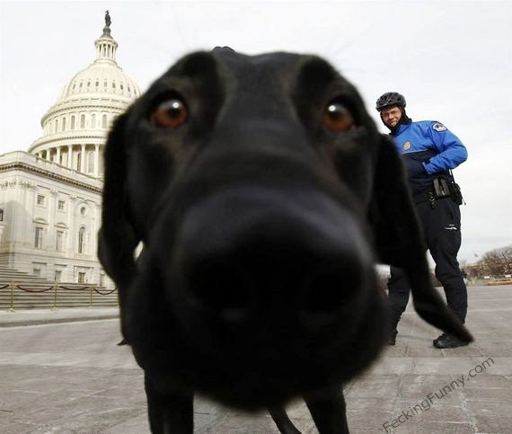 american-dog