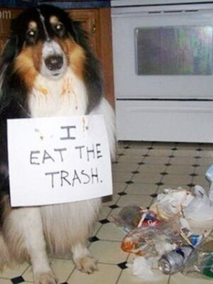 Guilty dog: eating trash