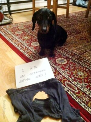 Guilty dog: eating underwear