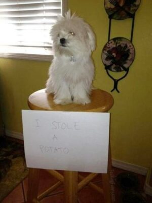 Guilty dog: steal potato