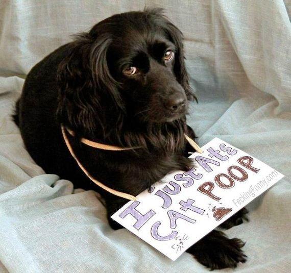 Guilty dog: eating cat's poop