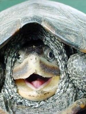 Funny turtle showing his head