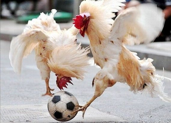 Even roosters can play soccer