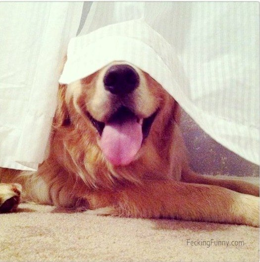Some dogs are really suck at hide and seek game: covering eyes with curtain
