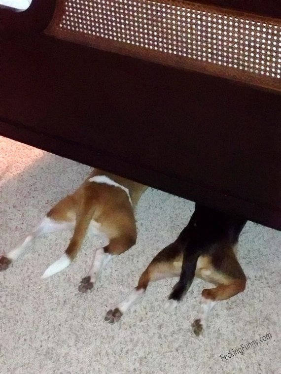 Dogs who are suck at hide and seek game: hiding head under sofa
