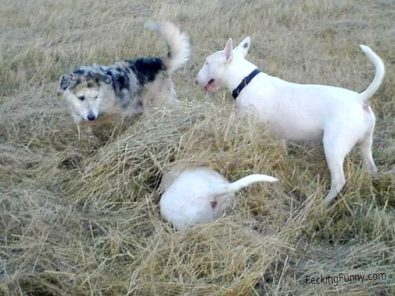Some dog are really suck at hide and seek game: hiding head in hay