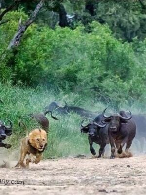 Angry bulls chasing a lion