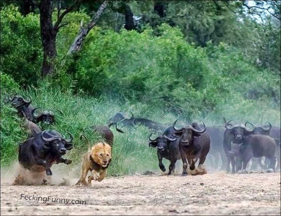 angry-bulls-chasing-lion