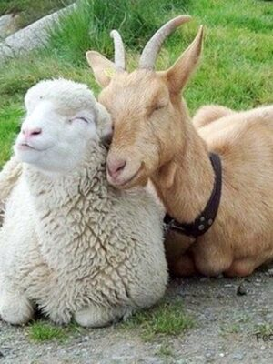 Goat and sheep: unlikely relationship