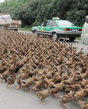 Duck crossing the road