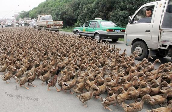 duck-crossing-road