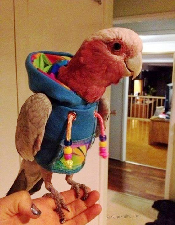 dressed-parrot